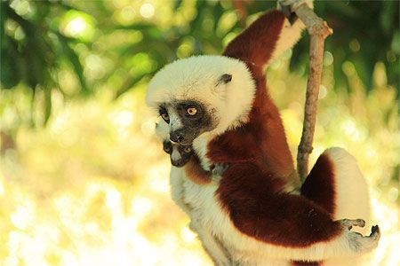 Les Lemuriens Du Lac Sacre Madagascar Lemurien Madagascar Photo De Singe