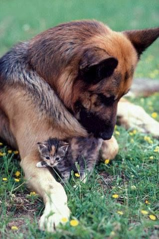 The Safest Kitten In Town German Shepherds Will Protect Anything