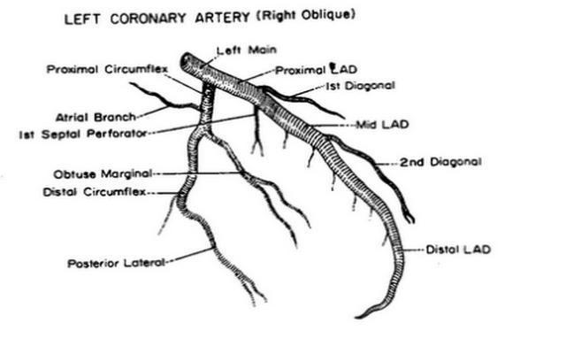 left coronary artery right oblique   Arteries anatomy