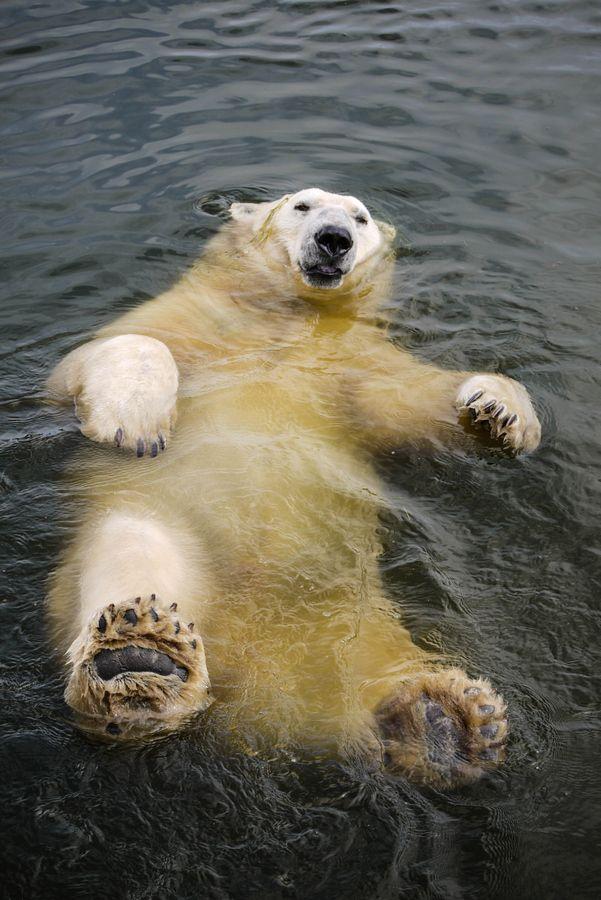 Polar Bear taking a swim. LOL