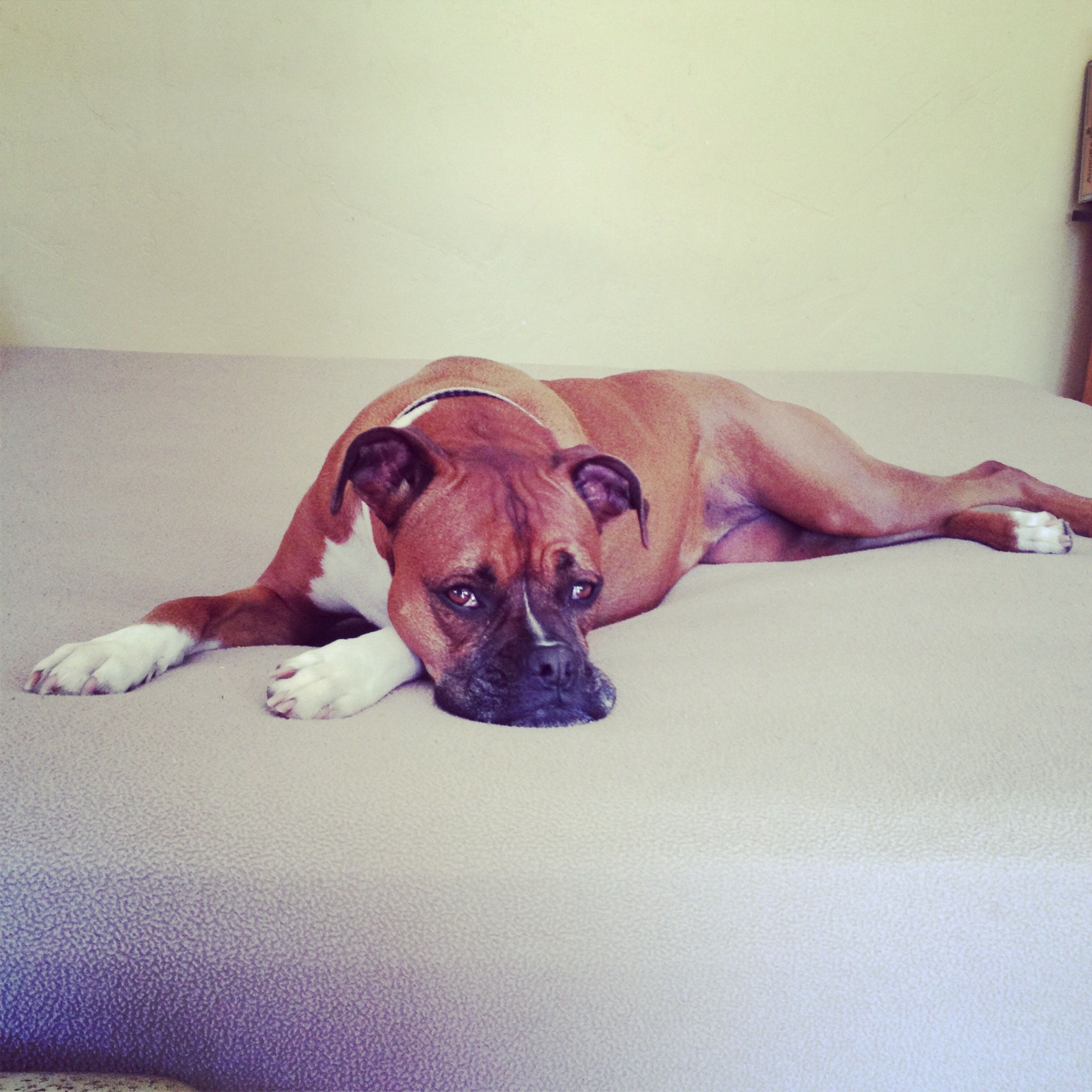 Pin by Lois Fleming on Photography Boxer dogs, Boxer
