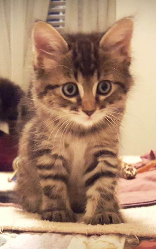 Meet Briscoe 22602 A Petfinder Adoptable Domestic Long Hair Cat Prattville Al Briscoe Is A Beautiful 8 Week Old Animals Beautiful Tabby Kitten Pet Birds