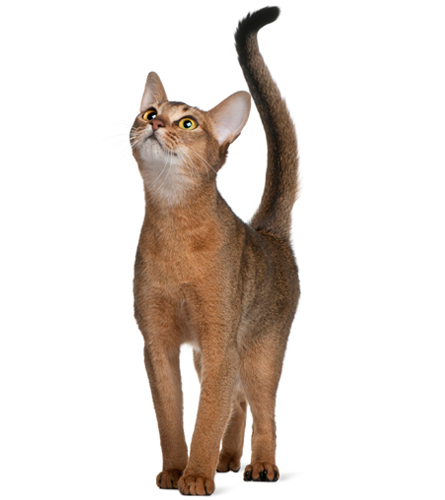 toys for abyssinian cats like the breed itself our toys for abyssinian ... - Find out more what Cat Toys is for your cats at catsincare.com!