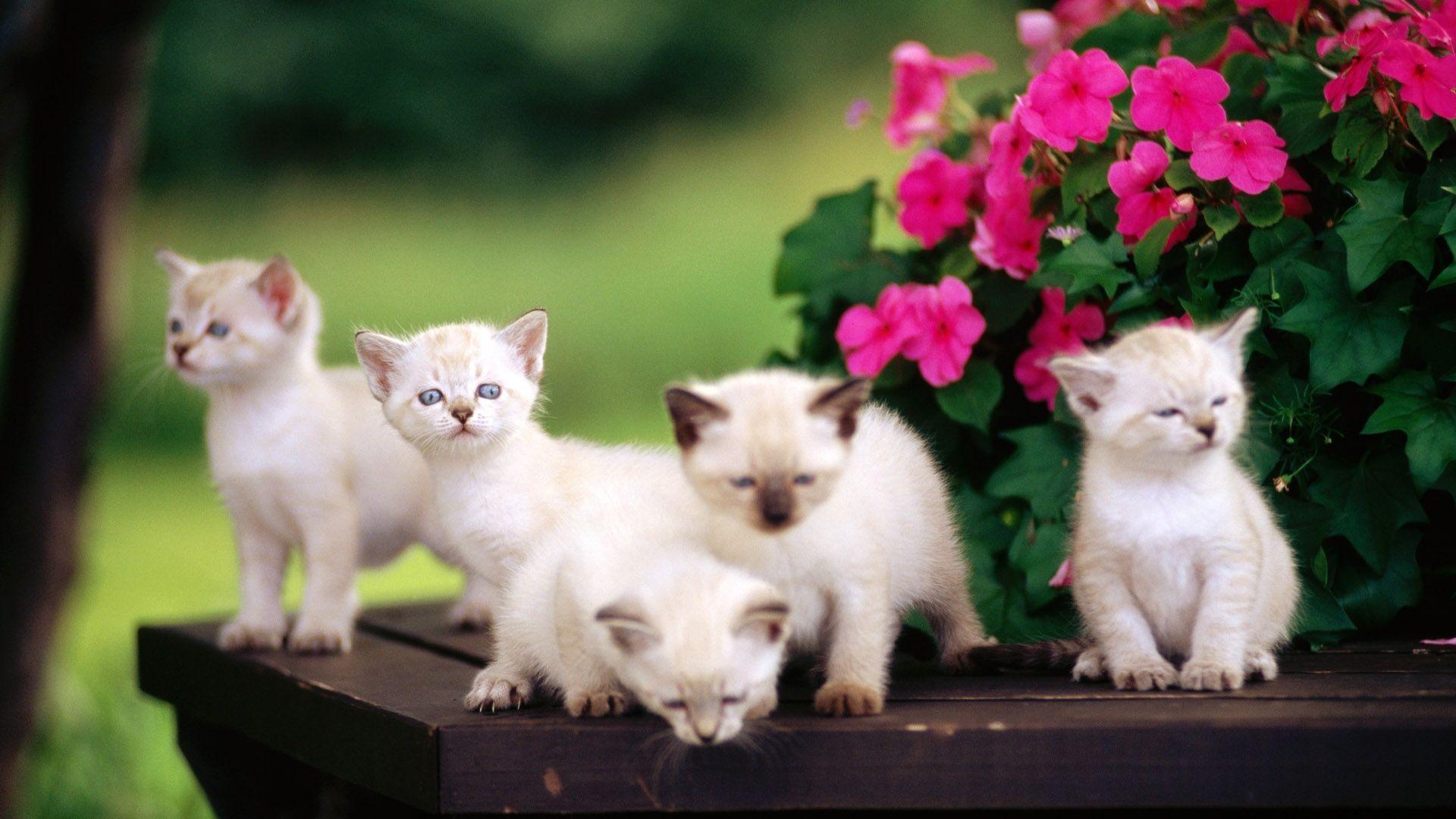 1920x1080 Cute Little Kittens Blue Eyes Hd Wallpapers 1080p Cute