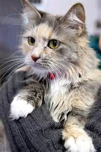 Long Hair Dilute Calico Bing Images Beautiful Cats Cats And Kittens Warrior Cats