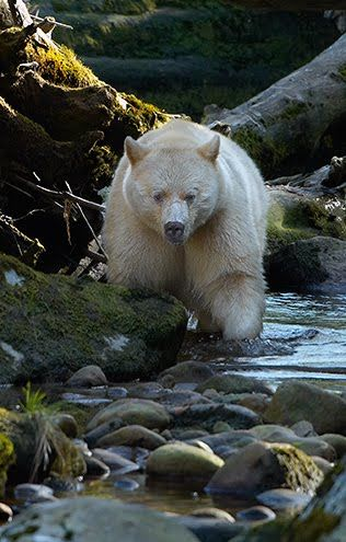 Spirit Bear - a subspecies of the North American black bear, with white or cream colored coats (not albinos), inhabiting the central and north coastal regions of British Columbia