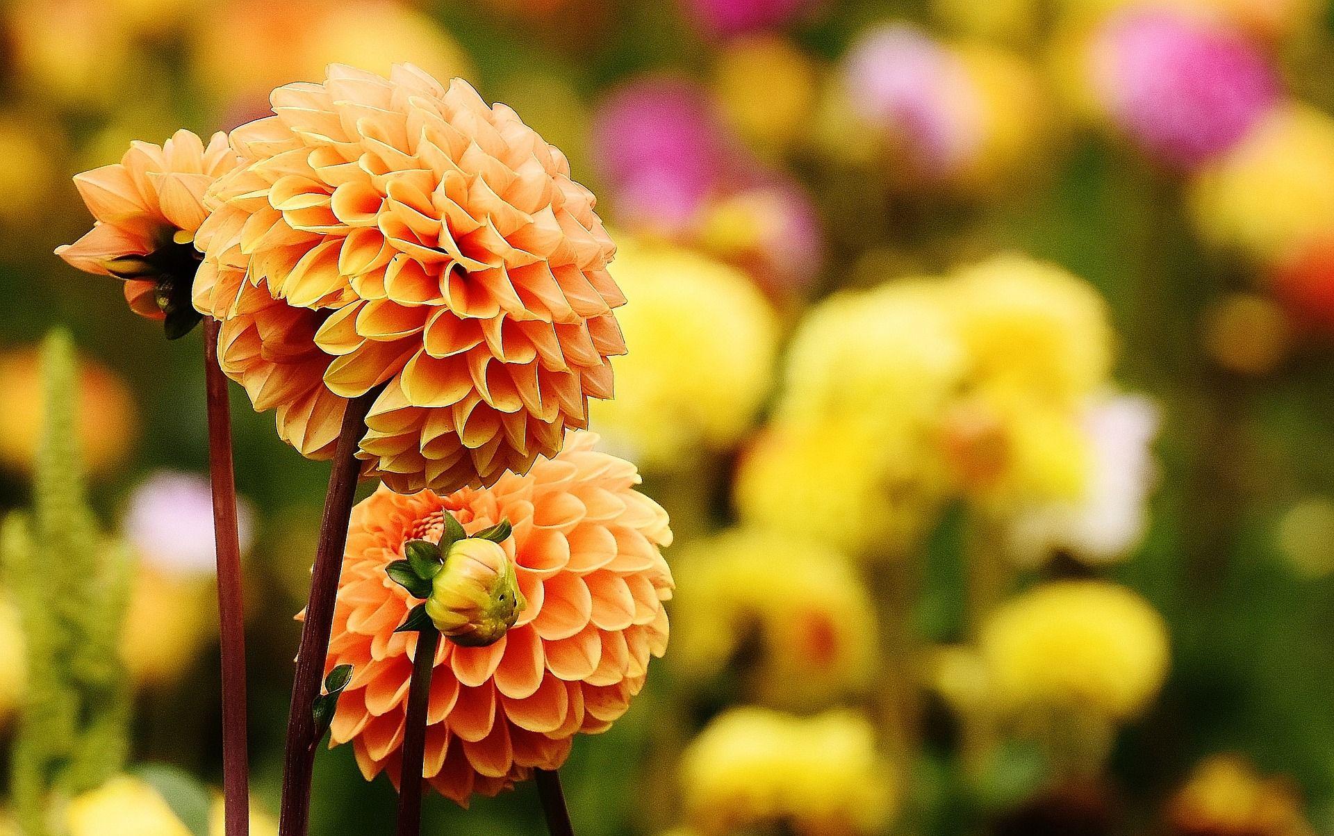 Najpiekniejsze Kwiaty Dalia Dalie Jesien Kwiaty Ogrod Pomysly Inspiracje Jesienne Kwiat Do Dahlia Flower Garden Good Morning Flowers Growing Dahlias
