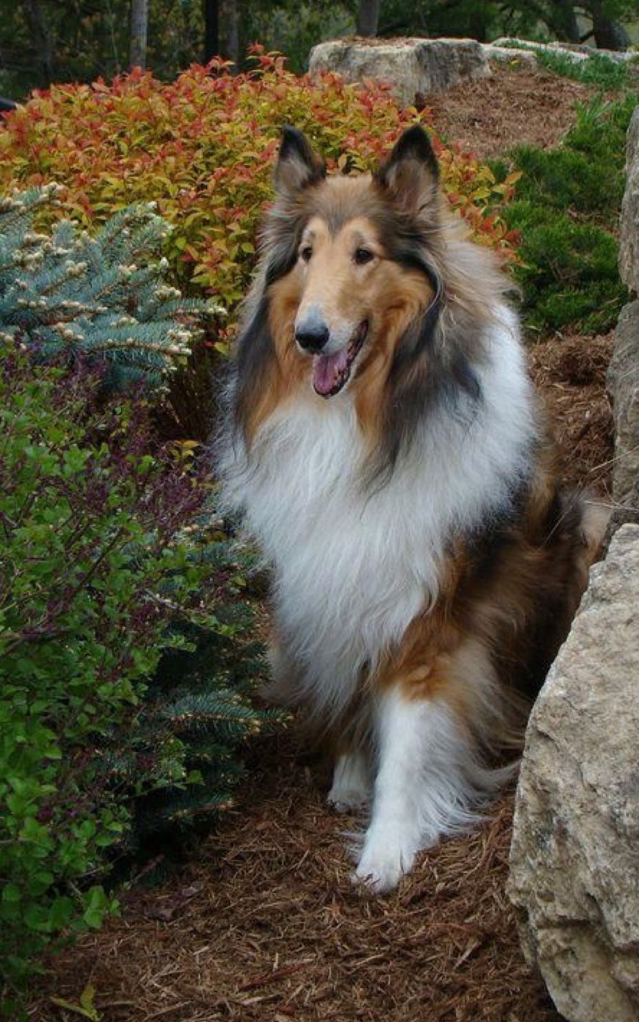 Collies My Passion Image By Judy Connor Rough Collie Sheltie