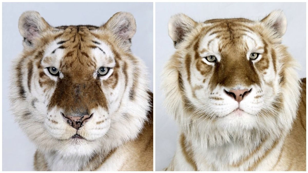 Dr Bhagavan Antle of The Institute of Greatly Endangered and Rare Species (T.I.G.E.R.S), photographs 4 varieties of Bengal tigers