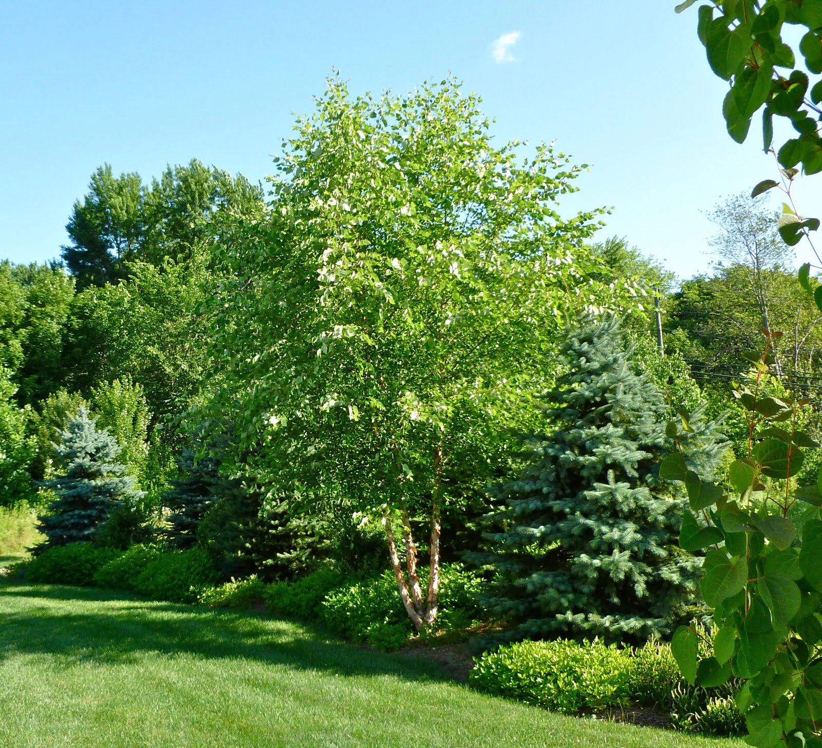 Mixed border of deciduous and evergreen plants ideas for Garden deciduous trees