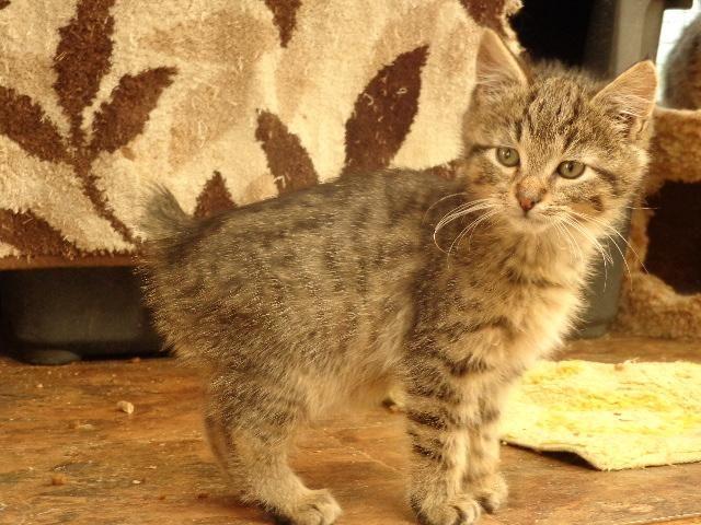 Jungle Bobs Ca Jungle Bob Kittens For Sale California Chausie