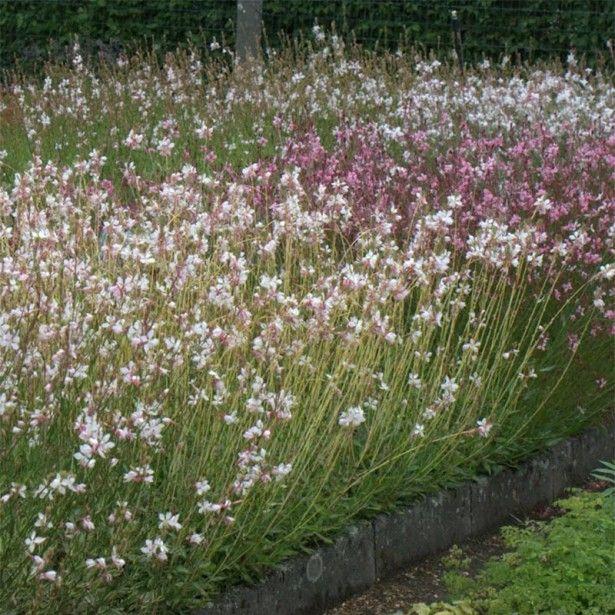 Collection 3 Gauras En Rose Et Blanc