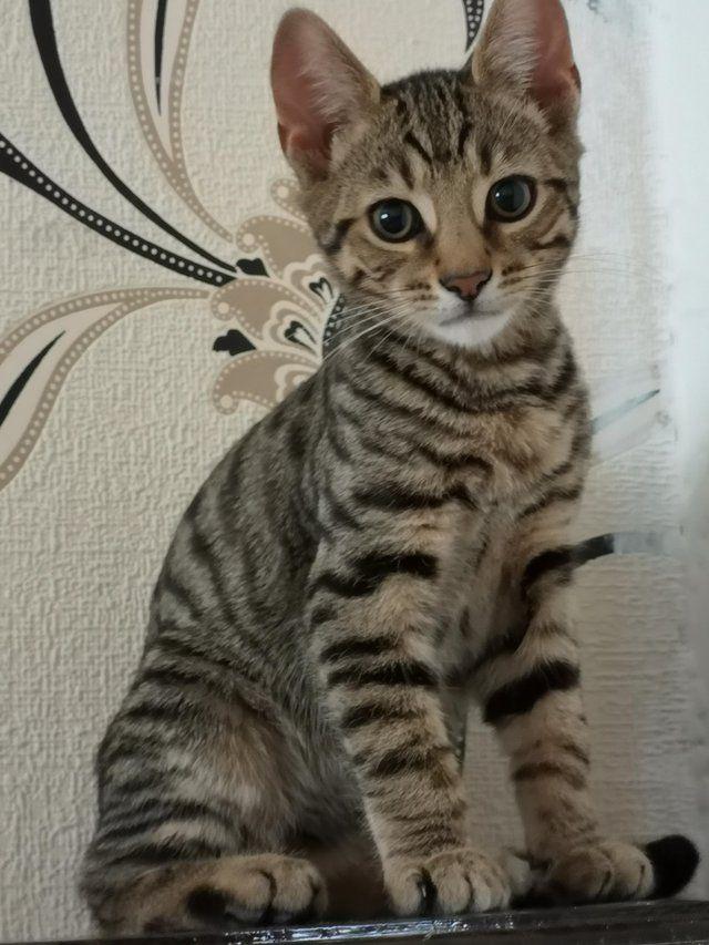 Bengal Tiger Cross kittens For Sale in Sunderland, Tyne