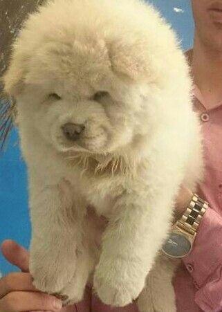 Chowchow for sale سگ نژاد چاوچاو وارداتي با مدارک کامل