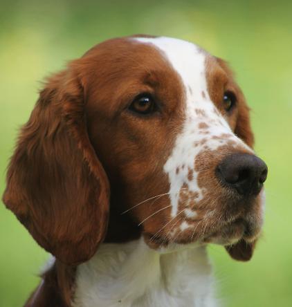 Welsh Springer Spaniel Classic Look Trim Forest Springers Spaniel Pups Springer Spaniel Pups Leuke Honden