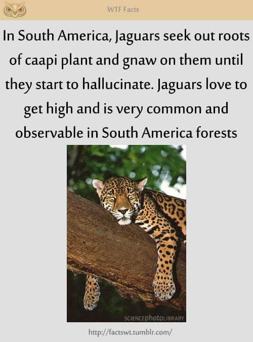 high jaguar Weird facts, Animals, South america