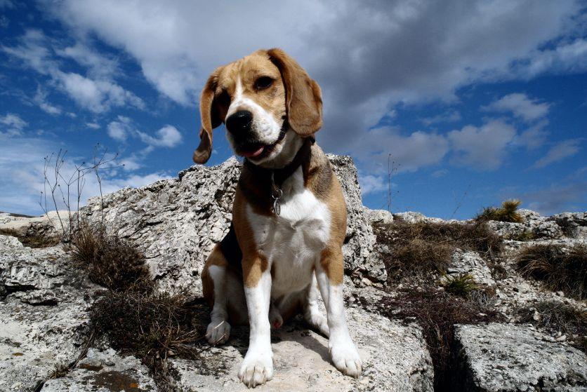 the beauteous beagle