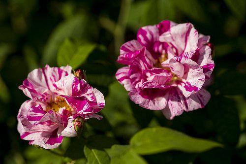 Rosa mundi, Rosa gallica