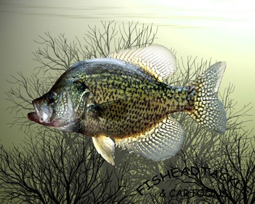 Crappie Fishing Wallpaper Panfish Wallpapers Fish Wallpaper Fish Fish Drawings