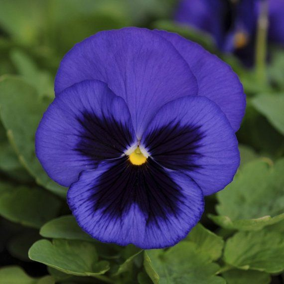 Blue Garden Pansy 30 Seeds Viola Wittrockiana Blue With Etsy Pansies Flowers Flower Garden Plans Pansies