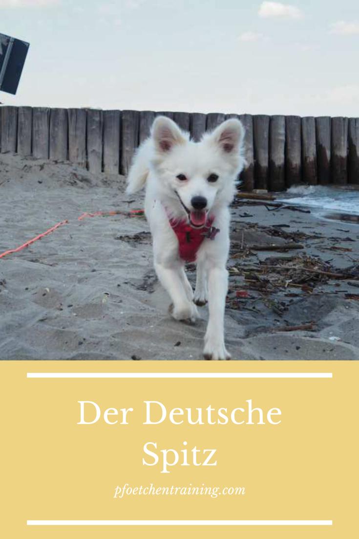 Darum Solltest Du K Einen Deutschen Spitz Haben Hundchen Training Hunderassen Und Kleine Hunde