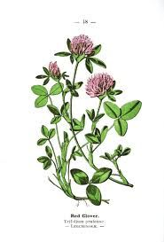 red clover drawing