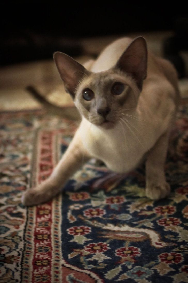 Let S Play Siamese Cats Blue Point Siamese Cats Tonkinese Cat