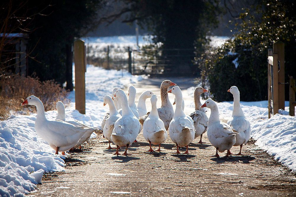 7 Easy Ways to Keep your Chickens Entertained this Winter ... |Winter Scenes With Chickens