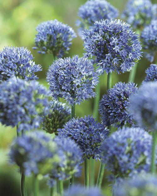 Blue Drumstick Allium Veseys Allium Flowers Allium Planting Flowers