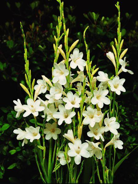 Watsonia White Bugle Flower From Van Bloem Gardens South African Flowers Bulbous Plants African Plants