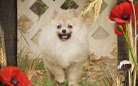 Pomeranians cachorro