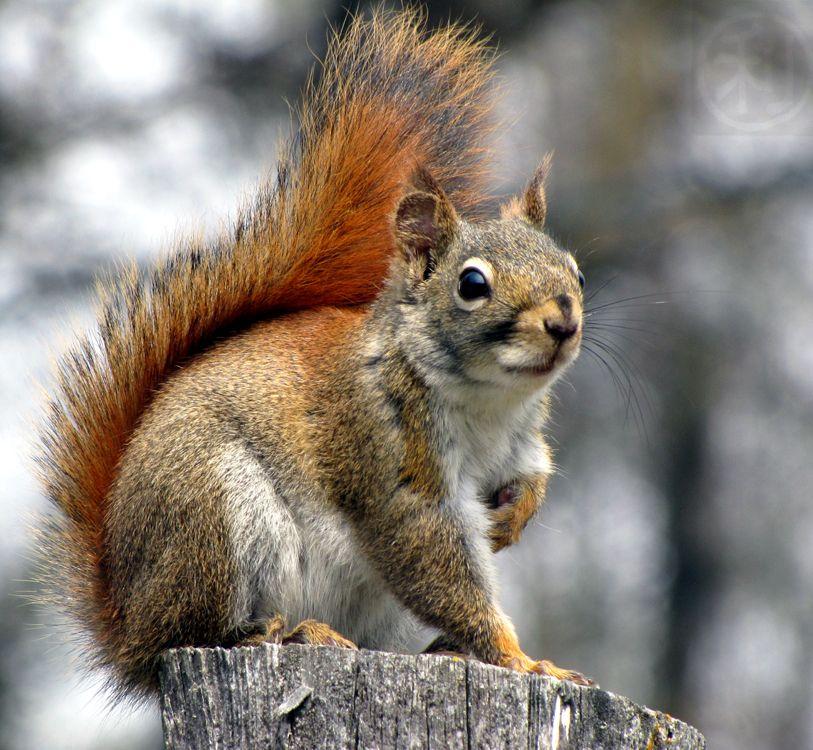North American red squirrel (Tamiasciurus hudsonicus ).jpg photo ...