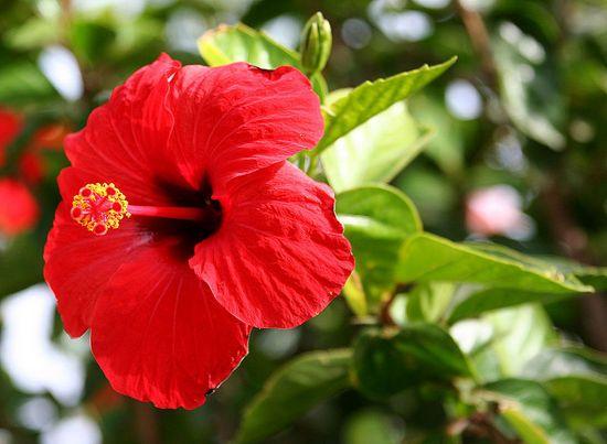 Beauty Benefits Of Hibiscus Flower Hibiscus Rosa Sinensis Hibiscus Flowers Hibiscus Plant