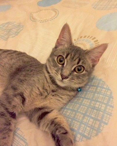 Reunited Grey White Tabby Cat Rhodes Nsw 2138 White Tabby Cat Tabby Cat Lost Cat