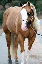 Stallion AQHA CUARTER horse