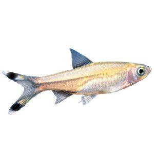Scissortail Rasbora Pet Fish Fish For Sale Fish