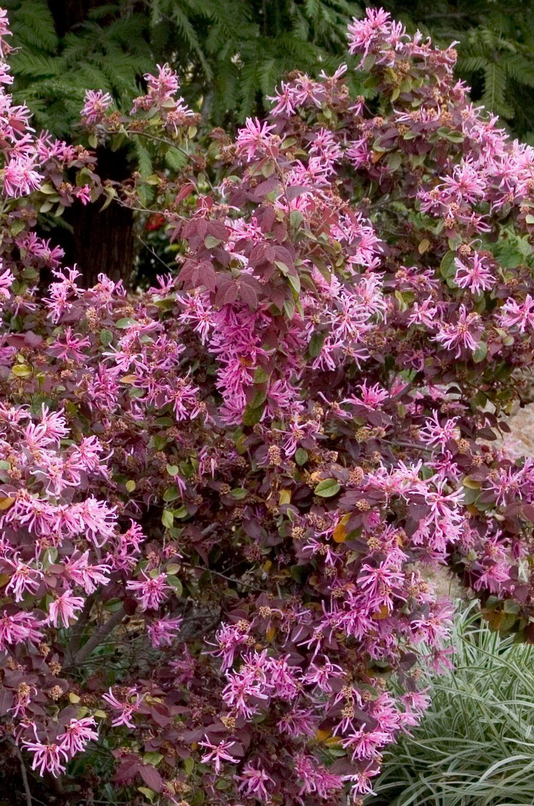 Sizzling Pink Fringe Flower Monrovia Sizzling Pink Fringe Flower