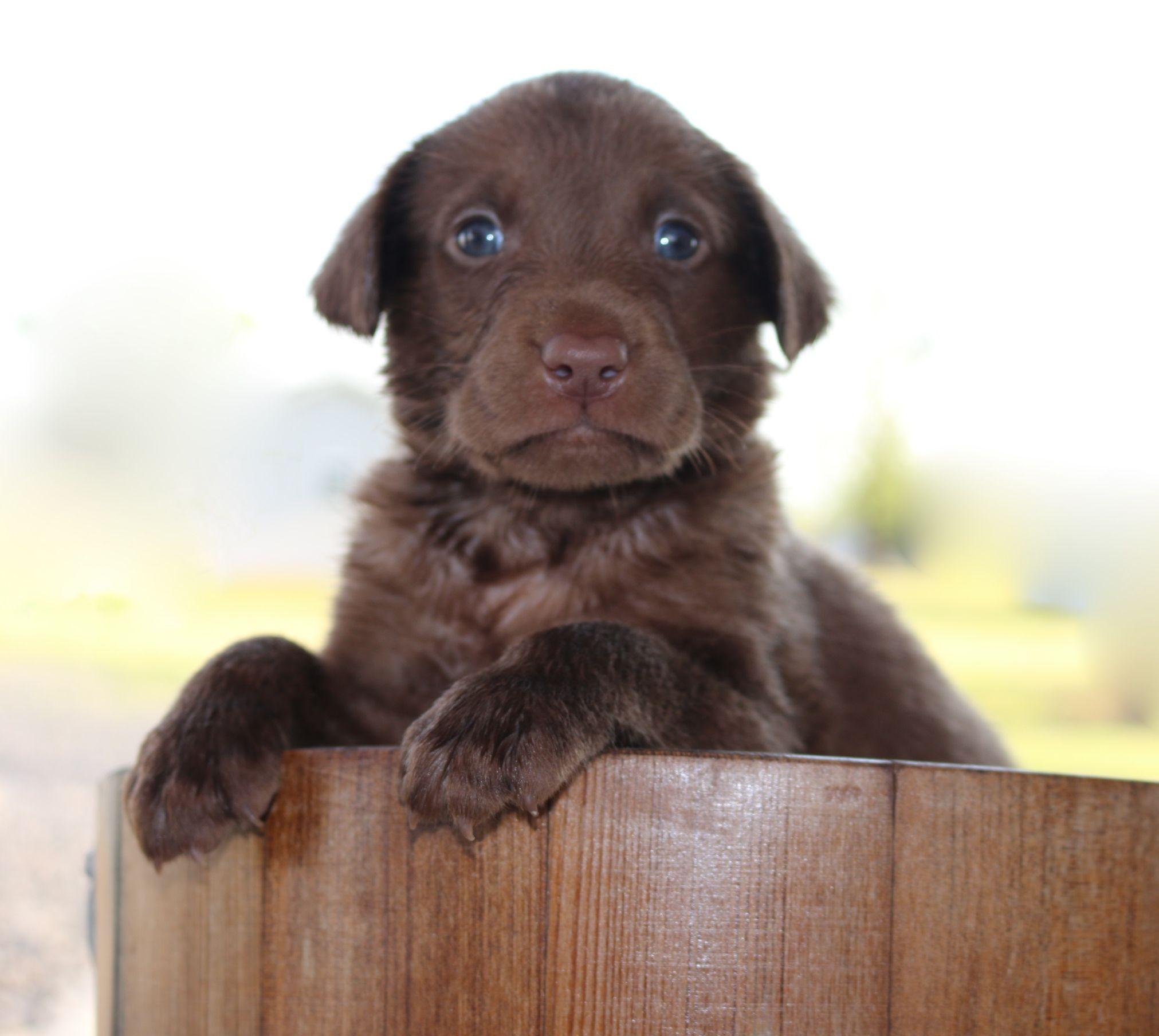 Chocolate Labrador Retriever Labrador Puppies For Sale Labrador