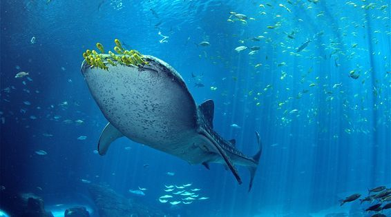 The Wonders of Whale Shark Research: Q&A with a Leading Marine Biologist   Read more: http://www.mnn.com/earth-matters/animals/sponsorstory/wonders-whale-shark-research-q-leading-marine-biologist#ixzz3kNUBmZqQ