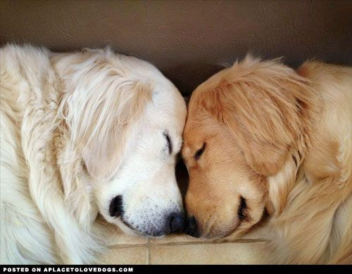 Sweet Brotherly Love.........Blind Golden Retriever Ray ...