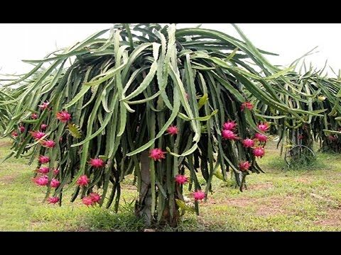 Como plantar pitaya dragon fruit passo a passo for Como plantar cactus