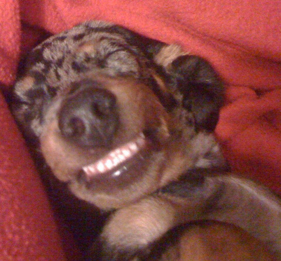 Smile Gustav S Dachshund World And Friends Dachshund Lovers