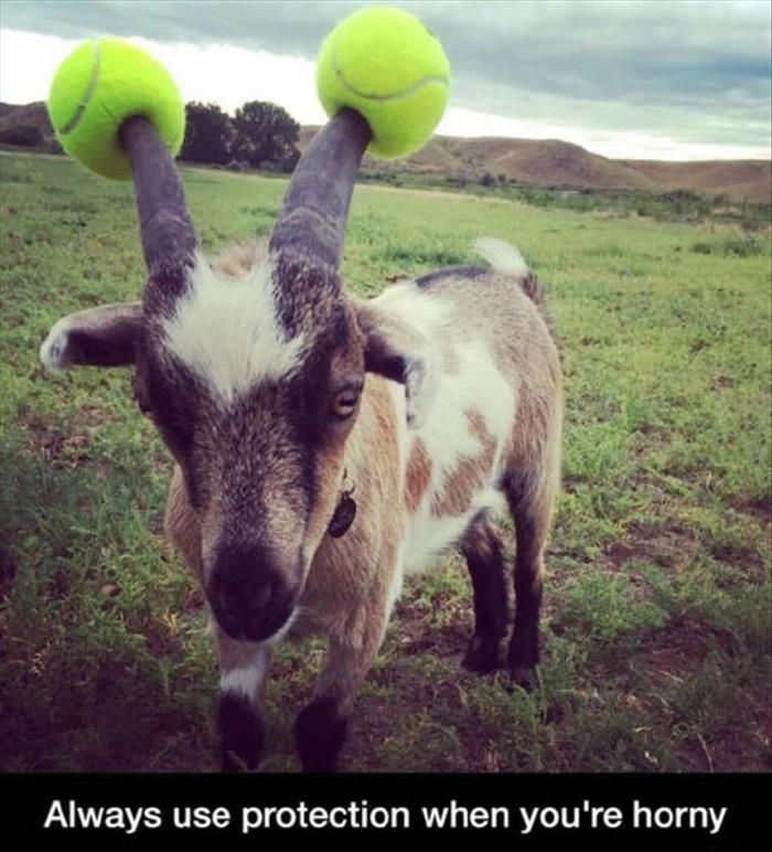 Quotes About Goats Stunning Funny Goats Always Use Protection When Horny  Pinterest  Goats .
