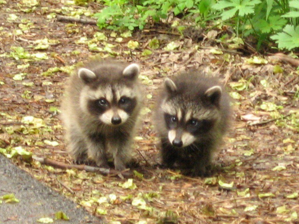 Nice Keep Raccoons Out Of Garden Vignette - Brown Nature Garden ...