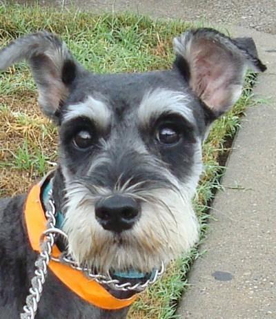 Miniature Schnauzer Rescue Of North Texas 300 Adoption Schnauzer Dogs Schnauzer Puppy Pets