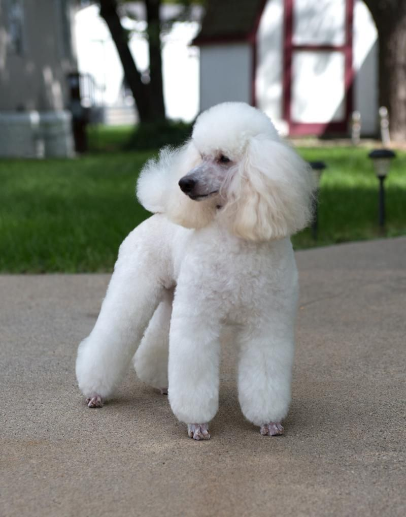 Logos Miniature Poodles Home In Mi Miniature Poodle
