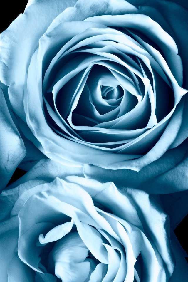 flower light blue aesthetic light blue roses blue roses