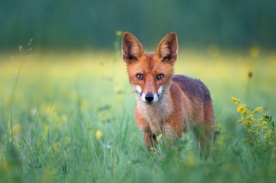 Fox by Uros Poteko on 500px