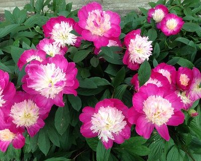 "Gay Paree - Midseason Lactiflora, Anemone type of Japanese flowers, cerise pink, bright pink guard petals surround a full center of mixed pink and creamy white petaloids, fragrant, has good potential to come on the ""good"" list of well paid peony cutflowers, (Auten 1933). www.peonyshop.com"