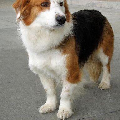 Dog Finder Adopt A Dog Or Cat Near You Corgi Australian